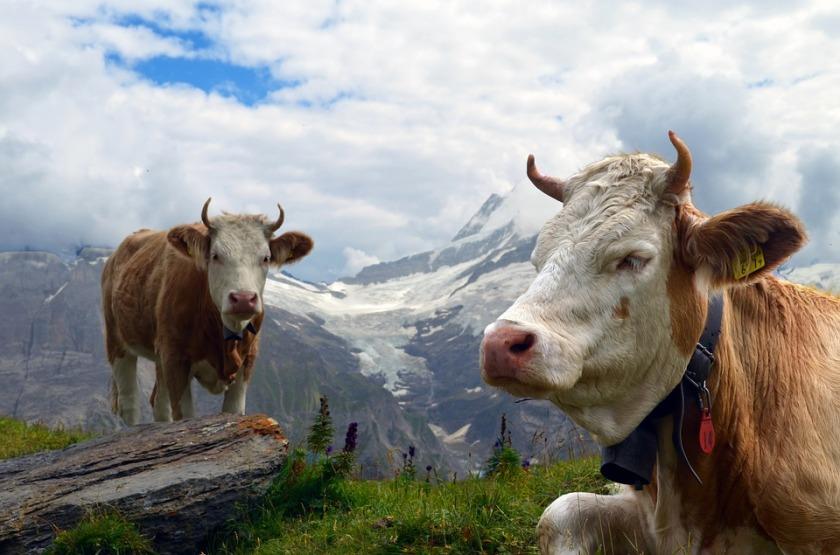 cow-1644108_960_720